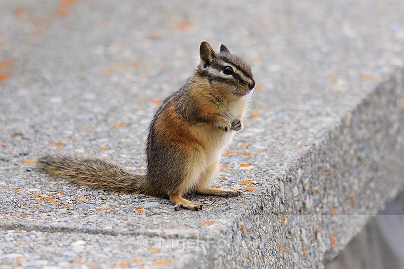Least Chipmunk standing, Banff - Chipmunk