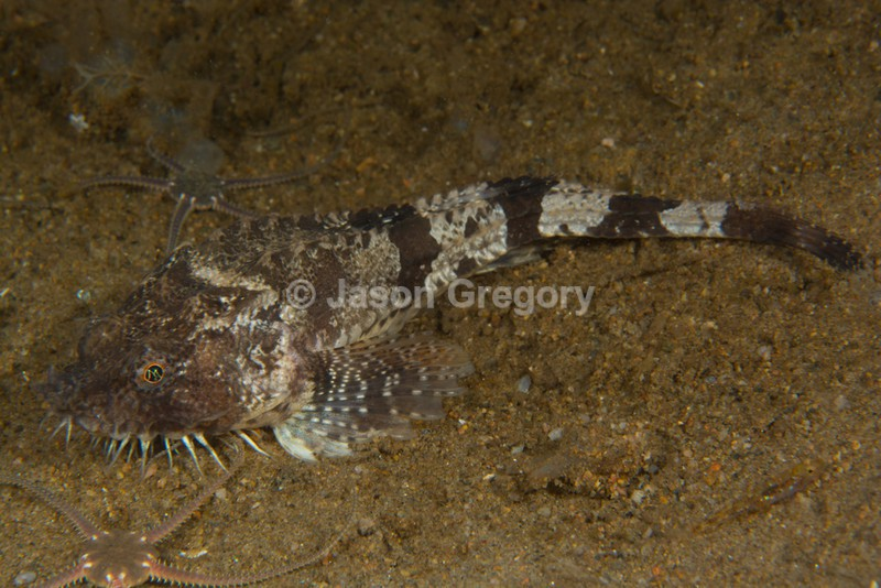 Agonus cataphractus - Fishes – bony and cartilagous (Pisces)