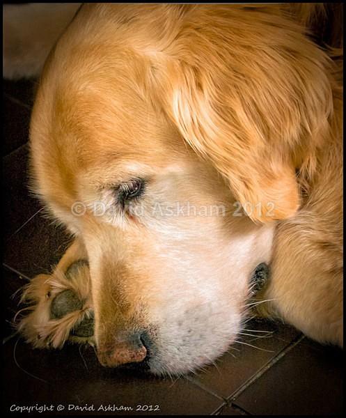 Golden Retriever - Leica Digilux 2