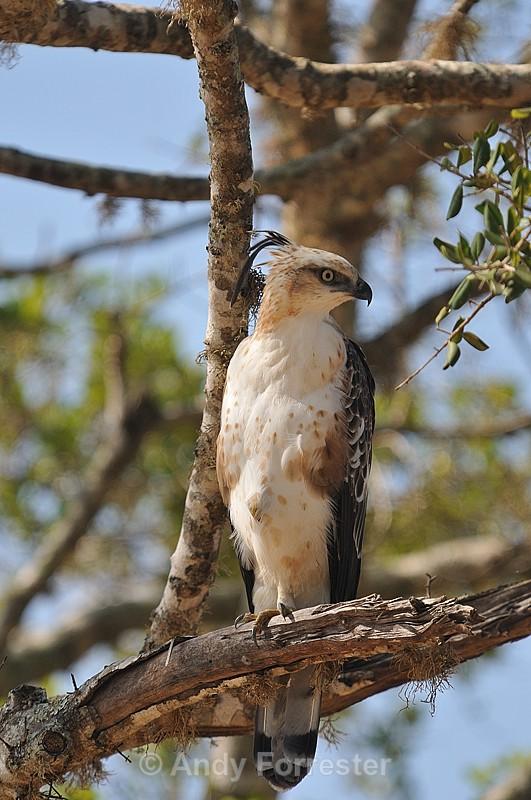Juvenile Hawk Eagle - Yala Sri Lanka