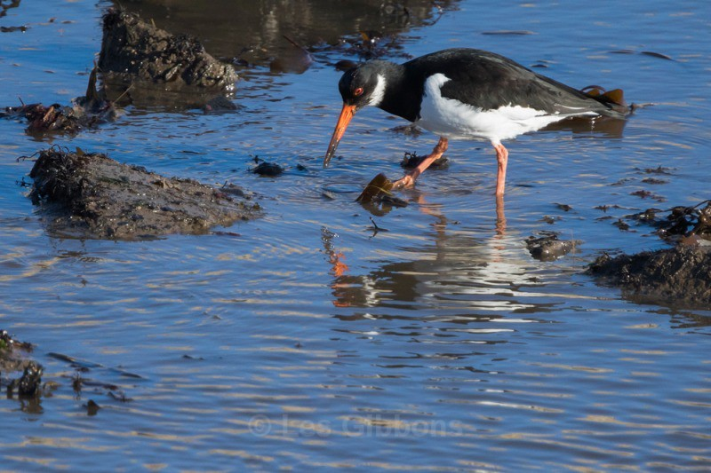 oystercatcher seahouses - Northumberland