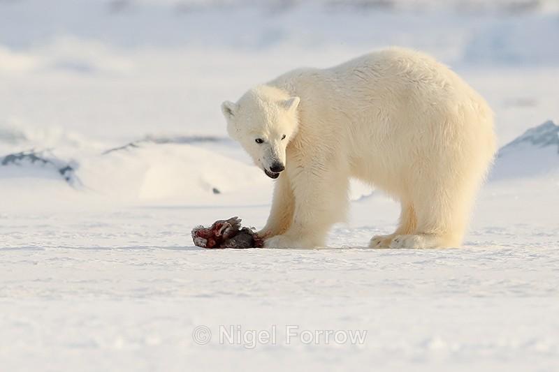 Polar Bear cub & Fulmar carcass, Svalbard, Norway - Polar Bear