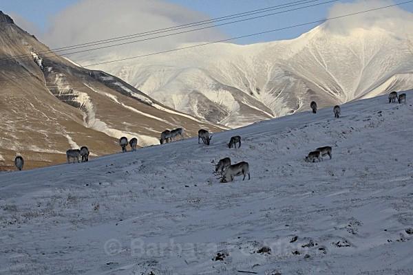 Reindeers 6325 - Autumn