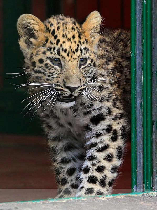 Amur Leopard cub appears around a doorway at the WHF - Leopard