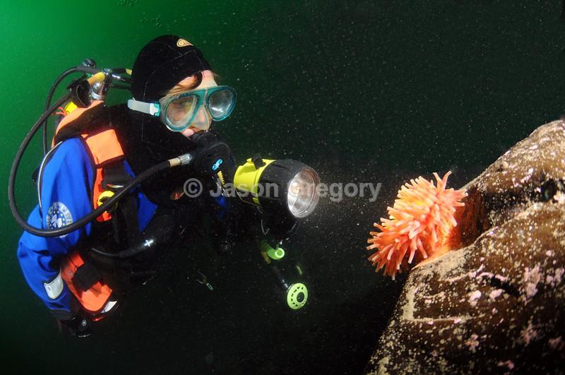 Diver observes Dahlia Anemone - Diver exploring marine environment