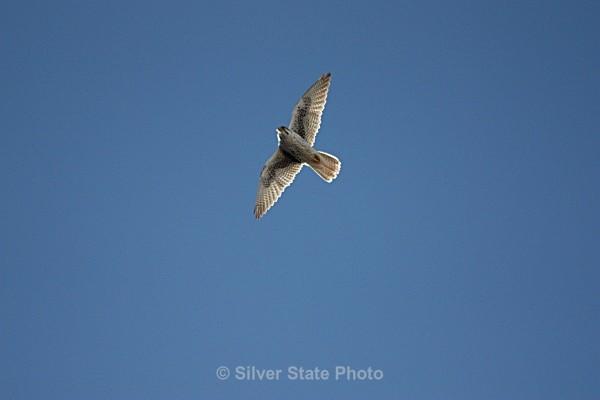 Prairie Falcon - Nevada Birds