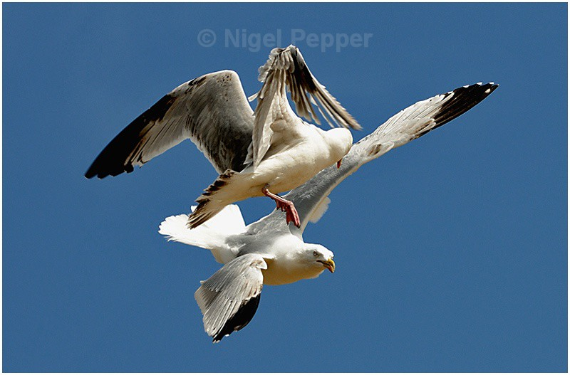 Mid-air Tussle - Leggy the Herring Gull