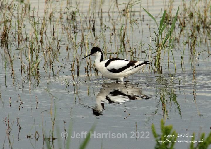 Avocet (image Av 06) - Waders, Gulls & Seabirds