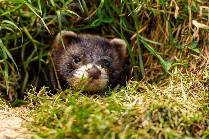 polecat Mustela putorius-8167 - UK Wildlife