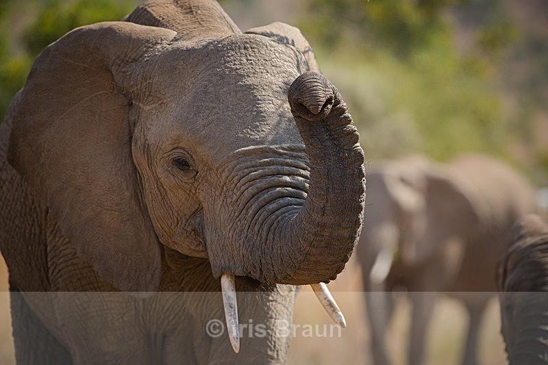 Say Cheese - Elephant