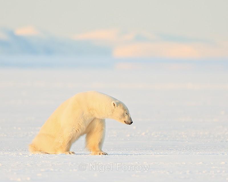 Sleepy male Polar Bear, Svalbard, Norway - Polar Bear