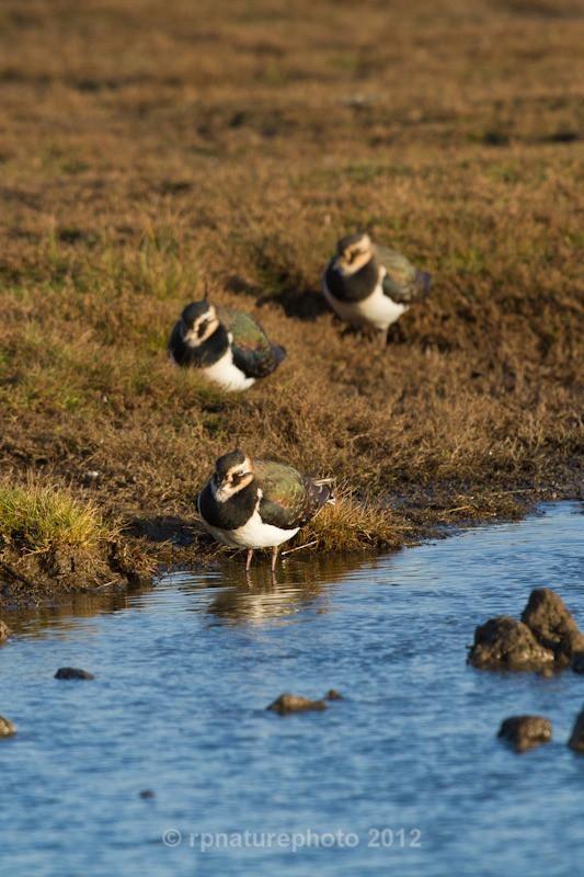 Lapwing - Vanellus vanellus RPNP0689 - Birds