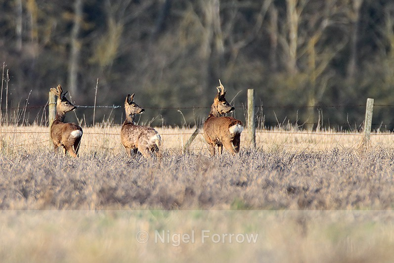 Roe Deer at South Leigh, Oxfordshire - Deer