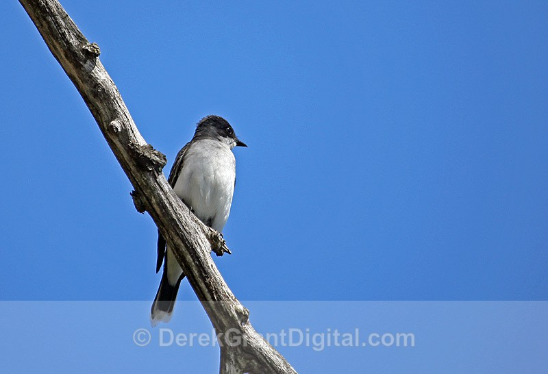 Eastern Kingbird - Birds of Atlantic Canada