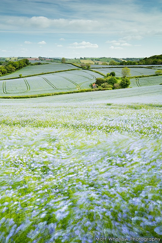 Flax fields - Cornwall - Towns and Countryside
