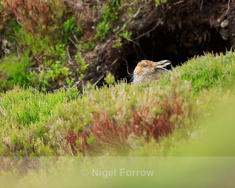 Mountain Hare, Findhorn Valley, Scotland - Hare