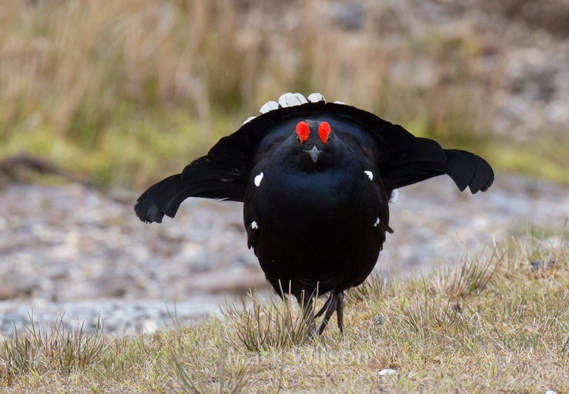 Black Grouse - N Wales - The rest.....