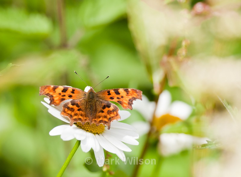 Comma butterfly - Mid-Wales - Animals