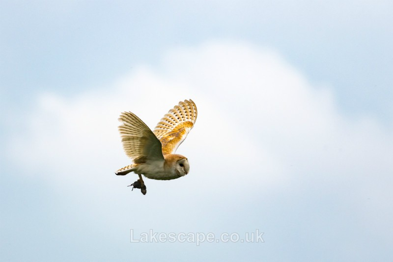 Barn Owl Hunting_4413 - Animals & Birds
