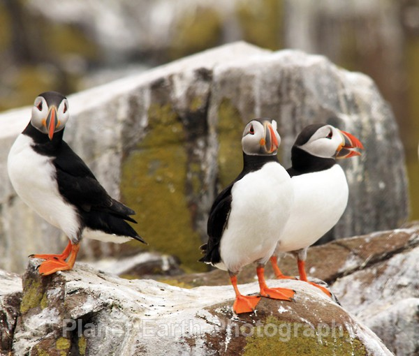 Farne Island Puffins - Puffins