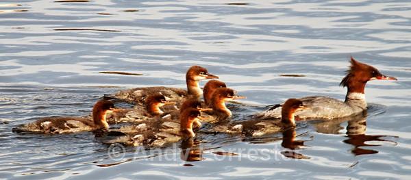Goosander Gang - Birds