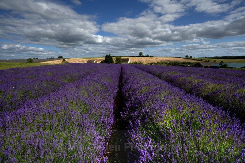 Lavender Fields - Worcestershire