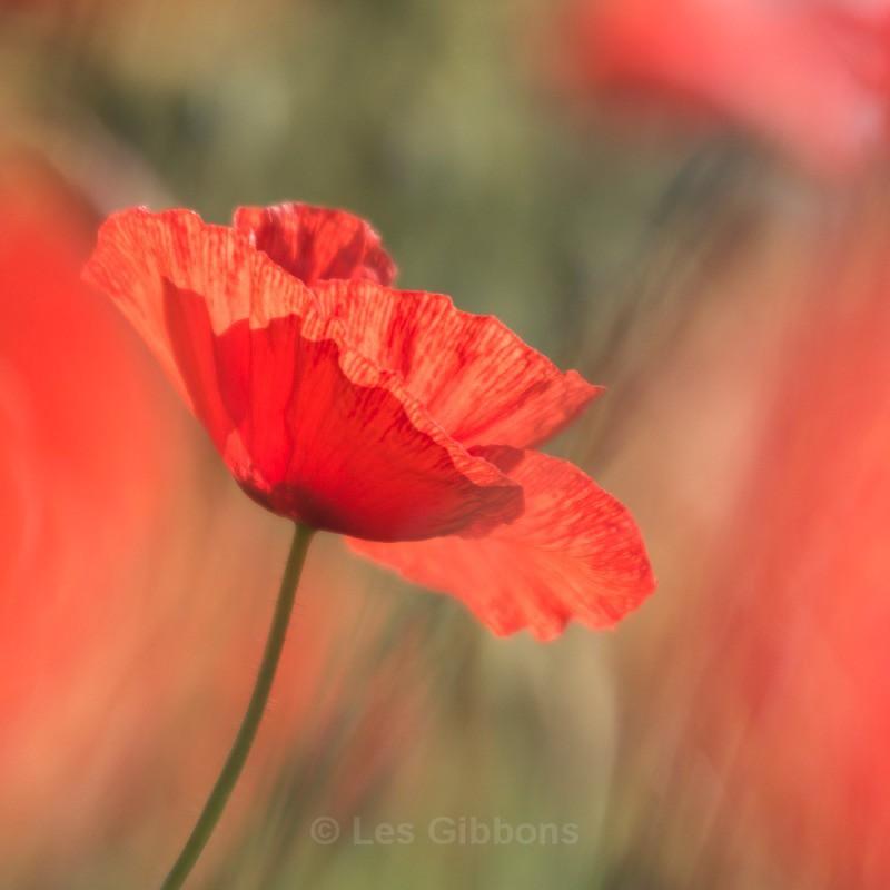 poppy - The Dordogne