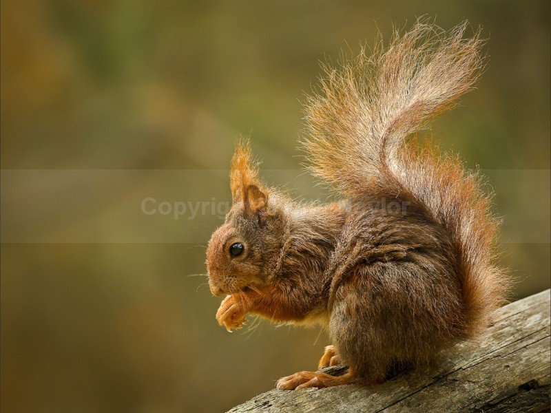 Red Squirrel 2 - 2010