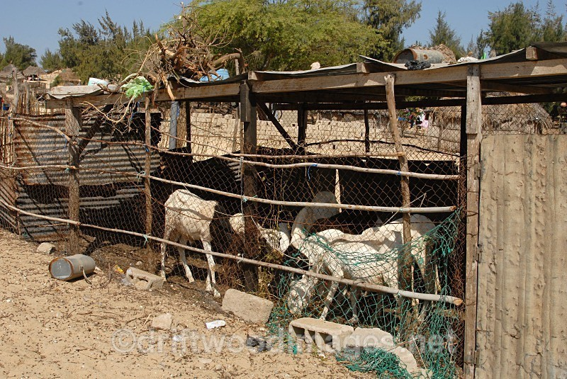 Senegal Fulani village goats in pen - Senegal Fulani Village