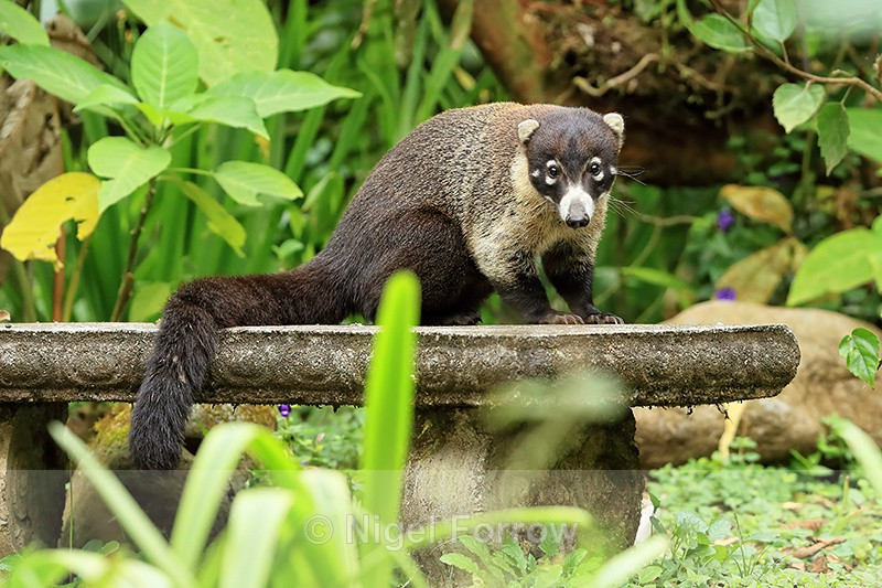 White-nosed Coati, Del Toro waterfall gardens, Costa Rica - Coati
