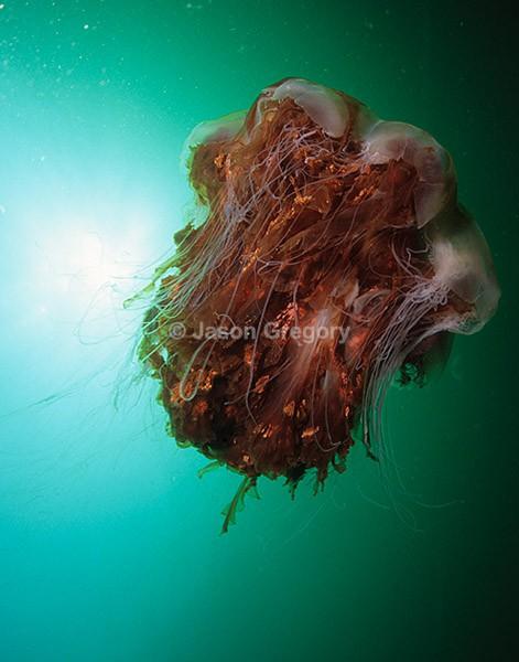 Cyanea capillata - Jellyfish and 'jelly-like' animals