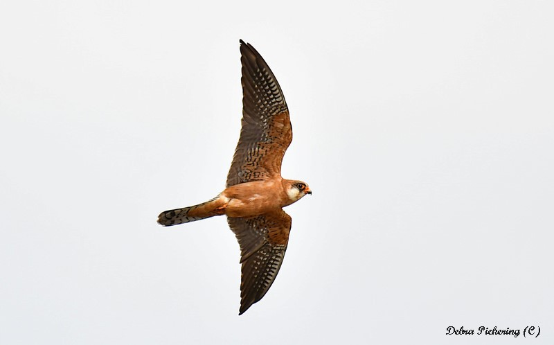 Red-footed Falcon - Birds Of Prey
