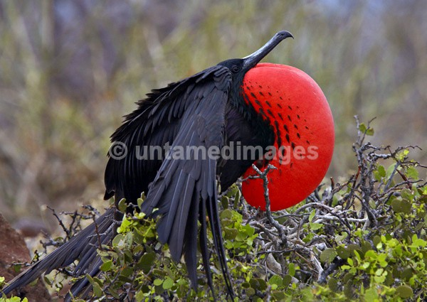 Magnificent Frigatebird 3 - Galapágos