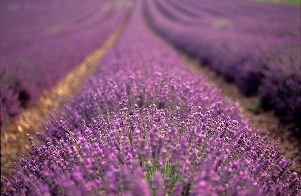 Lavender bushes1 - Provence