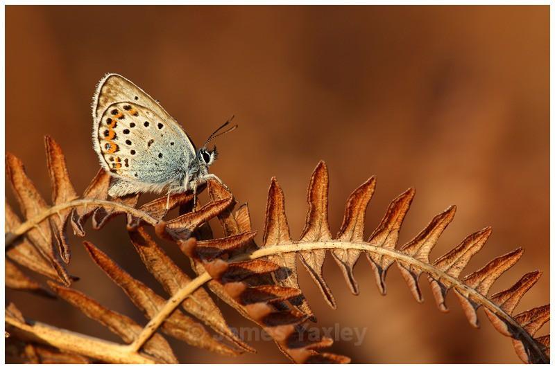 Silver Studded Blue on Bracken - Butterflies, Dragonflies and Demoiselles
