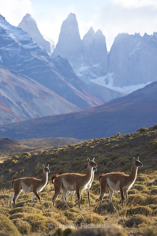 Guanaco in Torres del Paine National Park - Wildlife of Chile