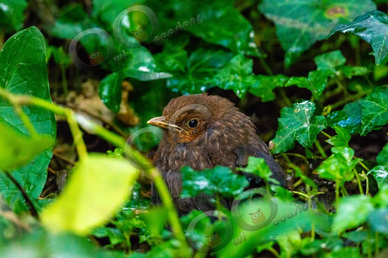 Blackbird Turdus merula-7737 - UK birds