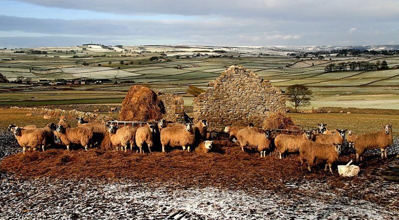Sheep, Wardlow - Peak District