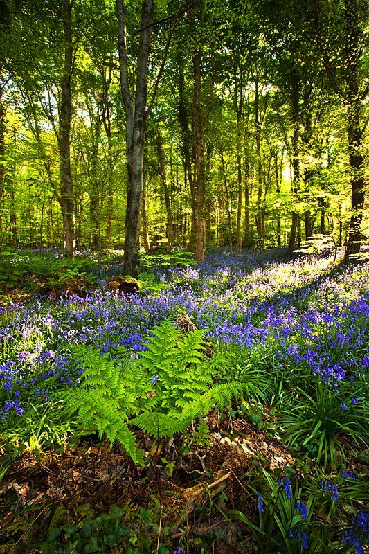 Morning Light - Bluebells In Bloom