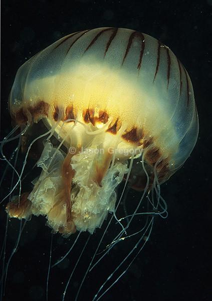 Chrysaora hysoscella - Jellyfish and 'jelly-like' animals
