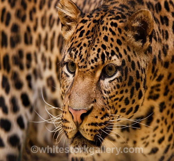 Leopard - Wildlife and Animals