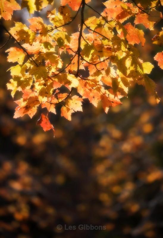 dream leaves - New Brunswick