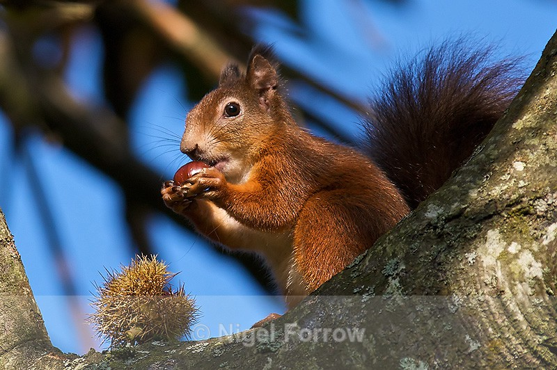 Red Squirrel sat in a tree eating a conker - Squirrel
