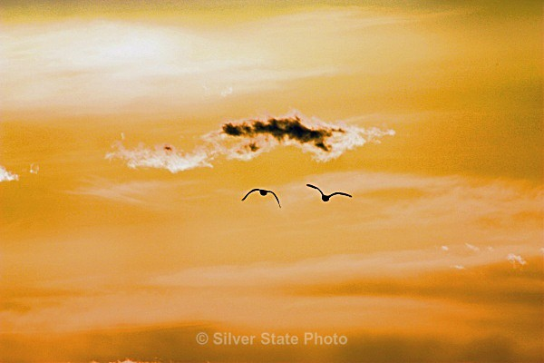 'Flying off into the Sunset' - Nevada Birds