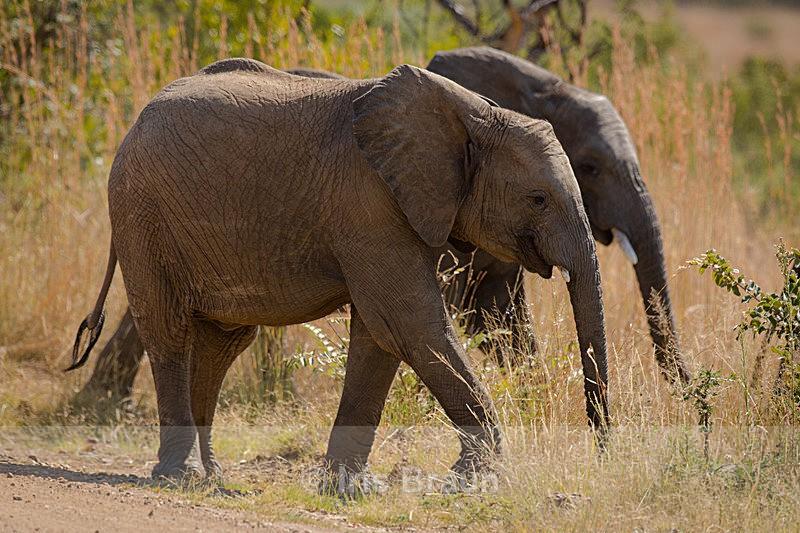 Siblings II - Elephant