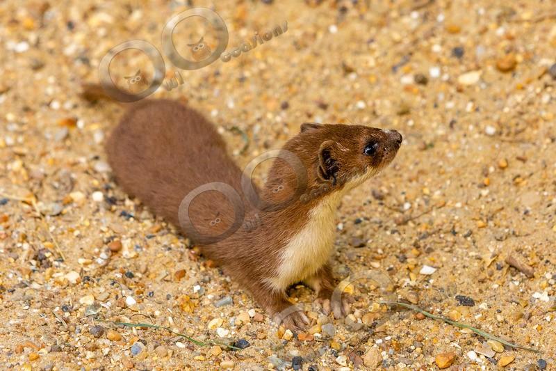 stoat Mustela erminea-1108 - UK Wildlife