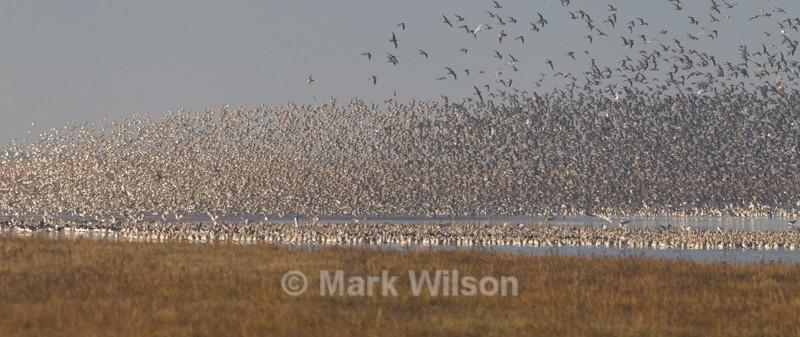 Wader flock - Water birds