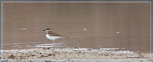 Killdeer IMG_0345-a-web - Nevada Birds