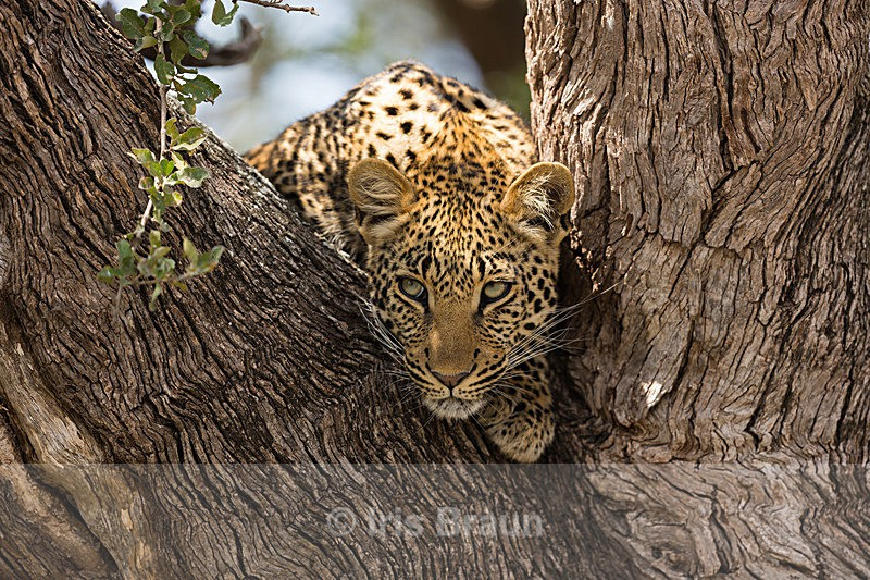 Hanging out - Leopard