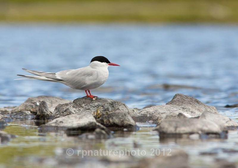 Arctic Tern - Sterna paradisaea RPNP0066 - Birds